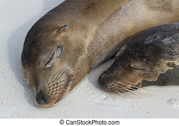 Sea lion cub with its mother on the beach of the Galapagos Islands