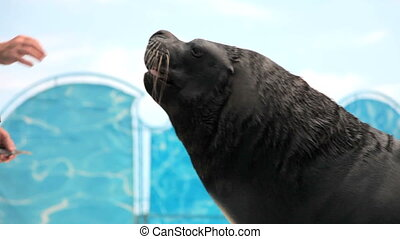 sea lion eats fish from the hands of the instructor