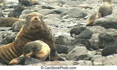 sea lion - fur seal rookery
