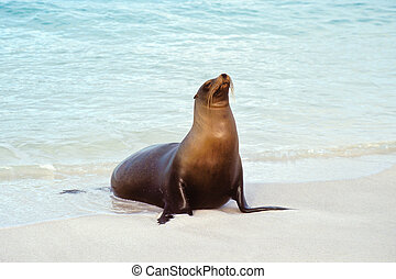 Sea lion, Galapagos Islands, Ecuador