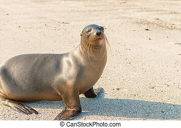 Sea Lion in Galapagos Islands
