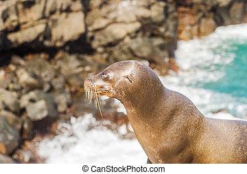 Sea Lion in Galapagos Islands