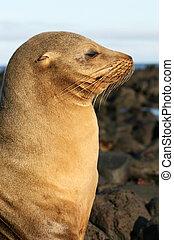 Sea Lion in Profile