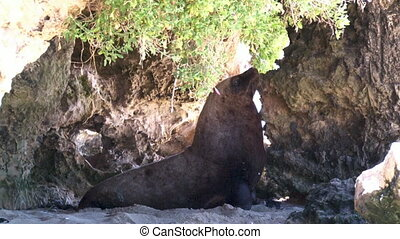 Sea lion on a cave - A medium shot of a sea lion on a cave