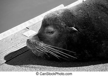 Sea Lion on a Dock in Black and White