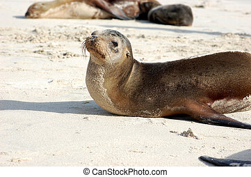 Sea lion on Galapagos beach