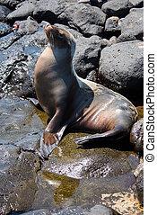 Sea Lion on South Plaza Island, Galapagos