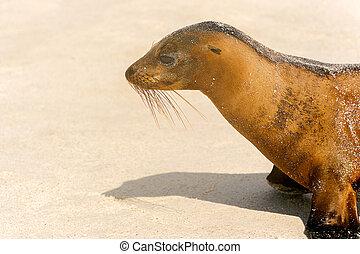 Sea Lion on the beach, Galapagos Islands