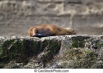 Sea Lion on the rock near Puerto Piramides in the Valdes Peninsula, on the Atlantic Ocean, Argentina