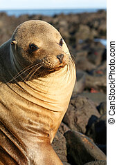 Sea Lion on the Volcanic Rocks of the Galapagos Islands