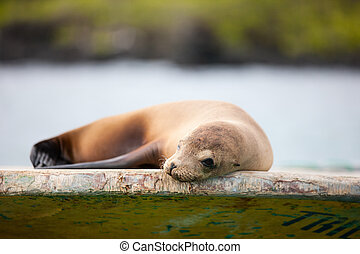 Sea Lion - Portrait of sea lion relaxing at fishing boat