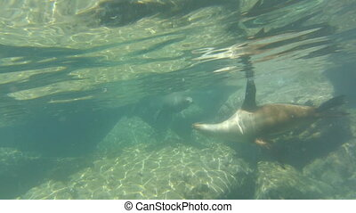 sea lion puppy swimming underwater with its mother by Isla...