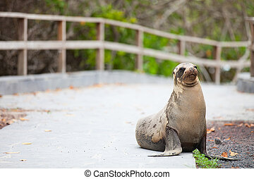 Sea Lion - Sea lion on a pedestrian walkway at Galapagos...