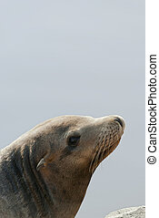 Sea Lion - Sea lion on blue water background