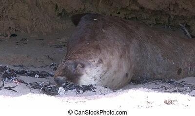 Sea lion sleeping on cave - A medium shot of a sea lion...