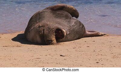 Sea lion sleeping on sands - A medium shot of a sea lion...