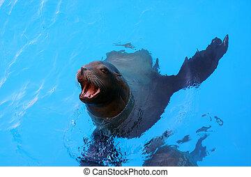 Sea Lion - A sea lion comes up for food.