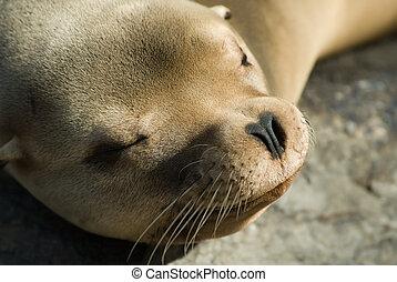 sea lion  - cute sleeping sea lion