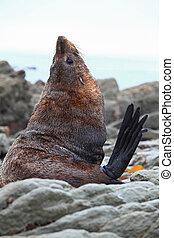 Sea lion - wild sea-lion or seal on coast New Zealand
