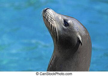Sea lion - Portrait of a Californian Sea lion in the water