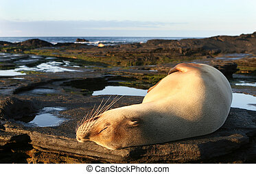 Sea Lion Sun Bath - A beautiful sea lion resting under the...