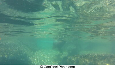 sea lion swimming - California sea lion, Zalophus...