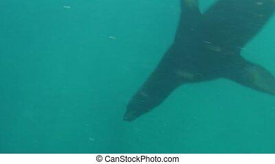 sea lion underwater - Underwater close up encounter of a sea...