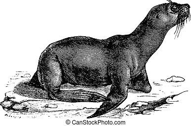 Sea lion, vintage engraved illustration. Natural History of Animals, 1880.