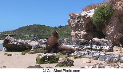Sea lion walking on sand