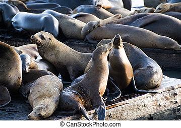 Sea Lions - California sea lions (Zalophus californianus)...