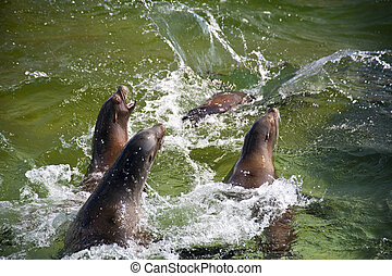 Close up of swimming sea lions