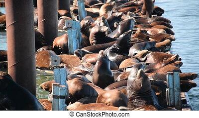 Sea Lions Closeup View - Closeup view of a colony of sea...