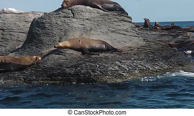 sea lions in Mexico - Californian sea lions, Zalophus...