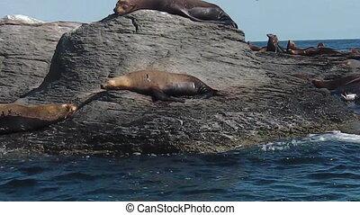 sea lions in Mexico - Californian sea lions, Zalophus...