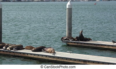 Sea Lions laying on the docks - Sea Lions on the docks an a...