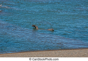 Sea lions located in the Valdes peninsula in Argentina