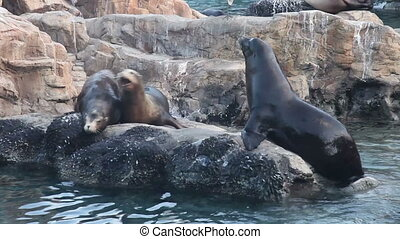 Sea lions mating, with sound - Sea lions (seals) mating,...