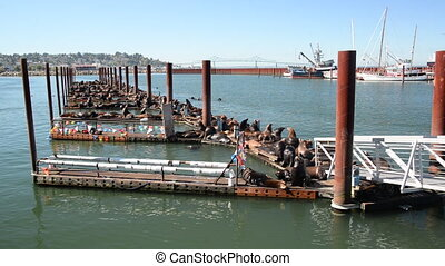 Sea Lions on a Dock - Large group of sea lions on a pier in...