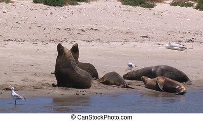 Sea lions on seashore - A medium shot of a sea lion on...