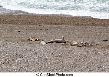 Sea Lions on the beach in Caleta Valdes in the Valdes Peninsula, on the Atlantic Ocean, Argentina