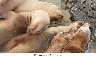 Sea lions on the rock in La Jolla. Wild eared seals resting near pacific ocean on stones. Funny lazy wildlife animal sleeping. Protected marine mammal in natural habitat, San Diego, California, USA