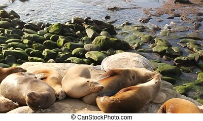 Sea lions on the rock in La Jolla. Wild eared seals resting near pacific ocean on stones. Funny lazy wildlife animal sleeping. Protected marine mammal in natural habitat, San Diego, California, USA.