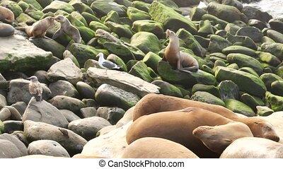 Sea lions on the rock in La Jolla. Wild eared seals resting near pacific ocean on stones. Funny lazy wildlife animal sleeping. Protected marine mammal in natural habitat, San Diego, California, USA.