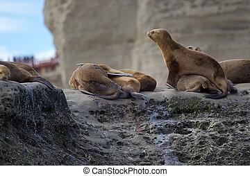 Sea Lions on the rock near Puerto Piramides in the Valdes Peninsula, on the Atlantic Ocean, Argentina