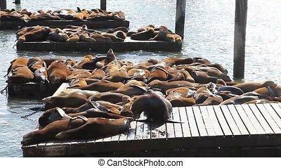 Sea lions San Francisco - Sea lions at Pier 39 a popular...