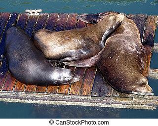 Sea-lions Sleep