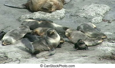 sea lions - Fur seals haul out on the rocks