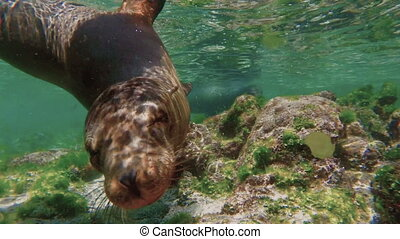 Sea lions swimming underwater in slow motion - Close up of...
