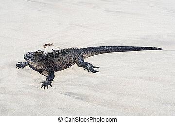sea lizard on a rock at the beach