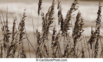 Sea Oat Sepia Loop - Sepia tone loop features sea oats...